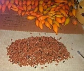 BUY IBOGA SEEDS, 50 Seeds $150 — $1,300 USD